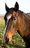 kastanjebrun häst Royaltyfri Foto