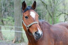 Kastanjebrun häst Arkivfoto