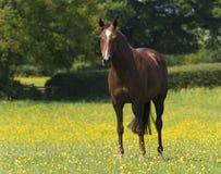 kastanjebrun häst Royaltyfri Fotografi