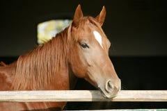 Kastanjebrun häst i lantgården bak staketet arkivfoto