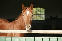 Kastanjebrun häst i lantgården bak staketet arkivfoton