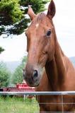 Kastanjebrun häst med lantgårdutrustning Arkivfoto