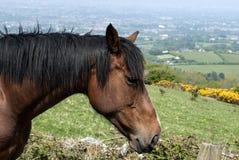 Kastanjebrun häst med svart man Arkivbild