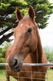 Kastanjebrun häst på trådporten Fotografering för Bildbyråer