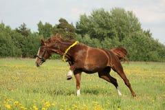 Kastanjebrun häst som galopperar på maskrosfältet Royaltyfria Bilder