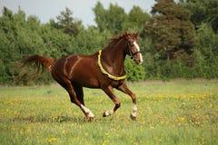 Kastanjebrun häst som galopperar på maskrosfältet Arkivfoto
