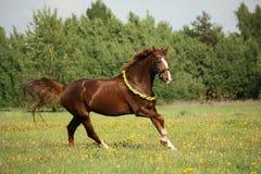 Kastanjebrun häst som galopperar på maskrosfältet Arkivbilder