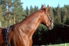 Kastanjebrun häst som ha på sig göra ett plötsligt ryck utrustning Royaltyfria Foton
