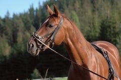 Kastanjebrun häst som ha på sig göra ett plötsligt ryck utrustning Royaltyfria Bilder