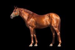 Kastanjebrun häst som isoleras på svart royaltyfria foton
