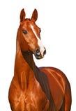 Kastanjebrun häst som isoleras på vit fotografering för bildbyråer
