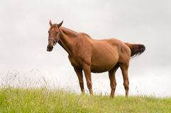 Kastanjebrun häst som tuggar gräs Royaltyfri Fotografi