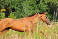 Kastanjebrun hästgalopp i sommaren Arkivbilder