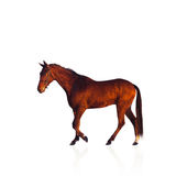 Kastanjebrun hästhingst Arkivbild