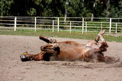 Kastanjebrun hästrullning i sanden Royaltyfri Bild