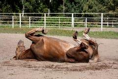 Kastanjebrun hästrullning i sanden Arkivbild