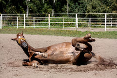 Kastanjebrun hästrullning i sanden Arkivfoton