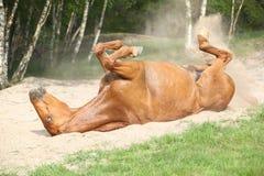 Kastanjebrun hästrullning i sanden i varm sommar arkivfoton