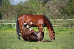 Kastanjebrun hästrullning på gräset i sommar Royaltyfria Bilder