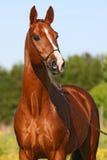kastanjebrun häststående Arkivbilder
