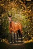 kastanjebrun häststående Arkivfoto