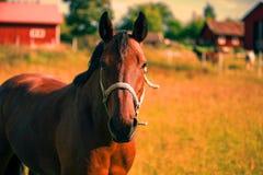 Kastanjebrun häststående i värmen av sommar Arkivfoton