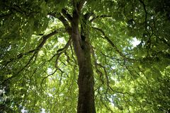 kastanjebrun hästtree Arkivbild