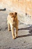 Kastanjebrun hemlös hund med goda Royaltyfri Fotografi