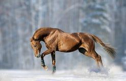 Kastanjebrun hingst i snö Royaltyfria Foton