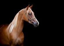 Kastanjebrun häst som isoleras på svart Arkivbild
