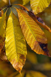 kastanjebrun indica hästindier för aesculus arkivfoto