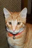 Kastanjebrun katt Royaltyfria Bilder