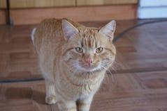 Kastanjebrun kattfärg Arkivfoto