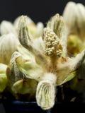 Kastanjebrun knopp, blomma och små sidor med isolerade fina detaljer Arkivfoton