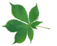 kastanjebrun leaf Royaltyfria Foton