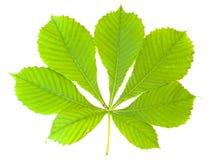 kastanjebrun leaf Royaltyfria Bilder