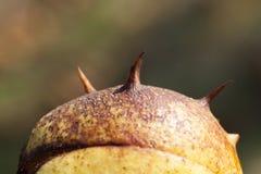 Kastanjebrun mutter, närbild Arkivfoton