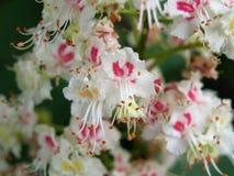 Kastanjebrun oavkortad blom Royaltyfria Foton