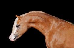 kastanjebrun ponny welsh Arkivbild