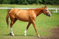 kastanjebrun racehorse royaltyfri bild