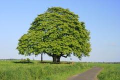 kastanjebrun tree Arkivbild