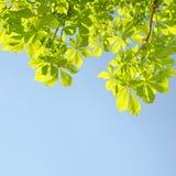 kastanjebrun tree Arkivbilder