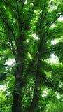kastanjebrun tree Royaltyfria Bilder