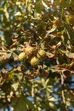 kastanjebrun tree Arkivfoto