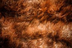 Kastanjebrun tvättbjörnpäls royaltyfri bild