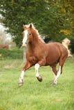 Kastanjebrun welsh ponny med spring för blont hår på betesmark Royaltyfria Bilder