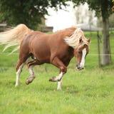 Kastanjebrun welsh ponny med spring för blont hår på betesmark Arkivbilder