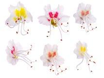 kastanjebruna blommor isolerade set white Arkivfoto