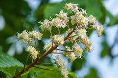 Kastanjebruna blommor Kastanjebrunt slut för filial upp Vit kastanjebrun blomma Arkivbilder