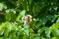 Kastanjebruna blommor Kastanjebrunt slut för filial upp Vit kastanjebrun blomma Arkivbild